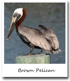 Louisiana State Bird, Brown Pelican