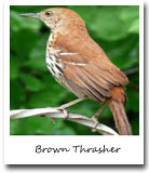 georgia state bird, brown thrasher