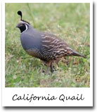 CA State Bird, California Quail