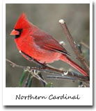 indiana State Bird, Cardinal (Northern Cardinal)