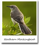 Arkansas State Bird, Northern Mockingbird