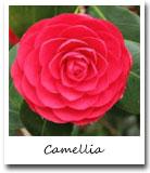 Alabama State Flower, Camellia