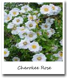 Georgia State Flower, Cherokee Rose