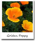 CA State Flower, Golden Poppy