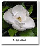 Louisiana State Flower, Magnolia