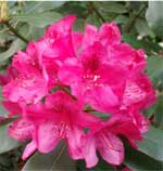 big rhododendron