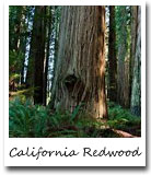 CA State tree, California Redwood