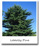 Arkansas State Tree, Loblolly pine