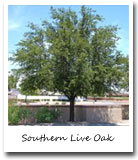 Georgia State Tree, Southern Live Oak