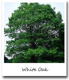 Indiana State Tree, White Oak